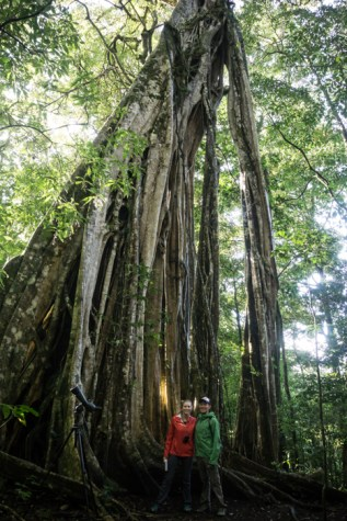 """A """"Cathedral"""" Fig Tree In Monteverde"""