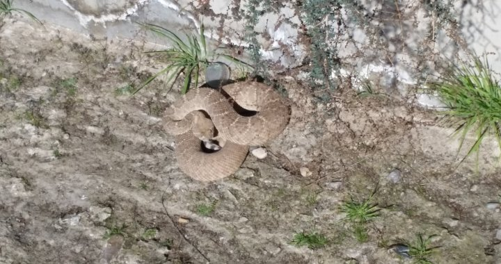 Needles, CA: With spring and warmer weather conditions coming soon, be prepared for rattlesnakes.