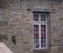 Κιρκινέζι (Falco naumani) είδος γερακιού σε άνοιγμα τοίχου σε κάποιο σπίτι στην Μόλιστα