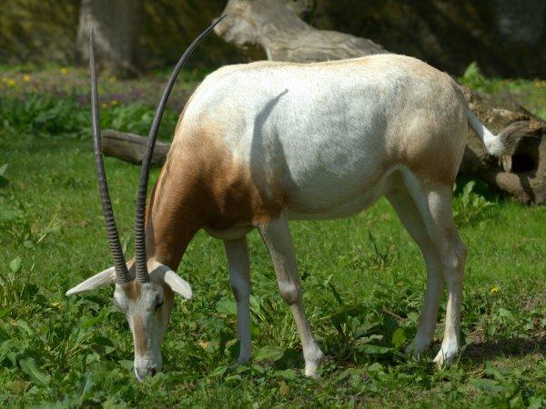 Oryx_dammah_Warsaw