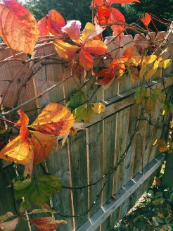 Our vines in the backyard