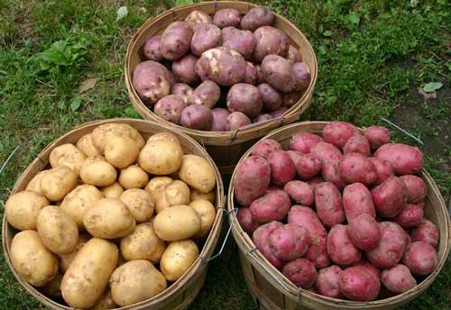 добив от картофи