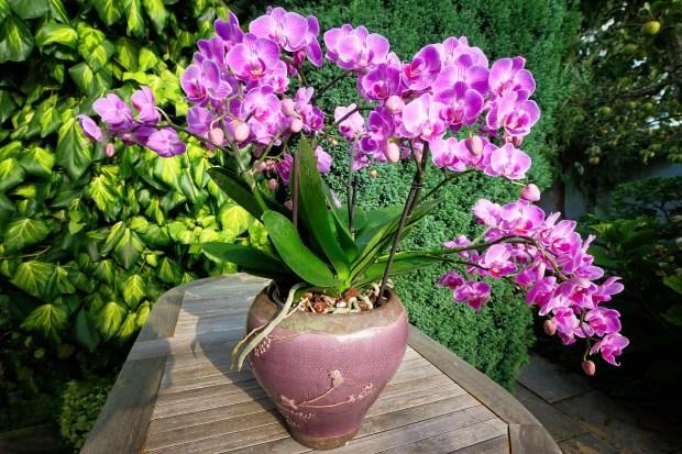 цъфнала орхидея