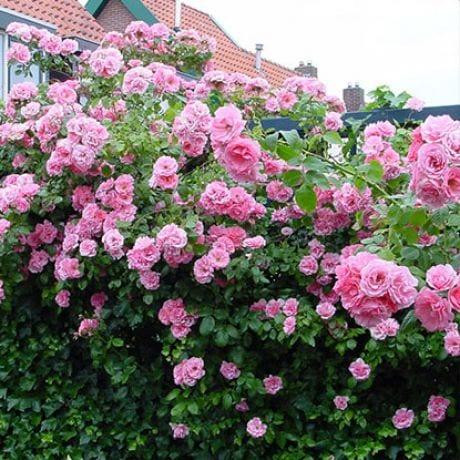 розов храст