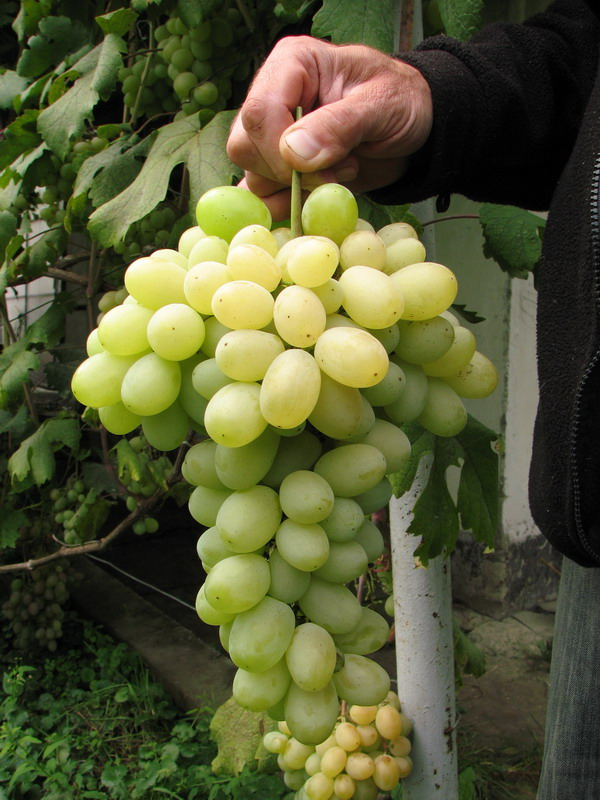 едро грозде