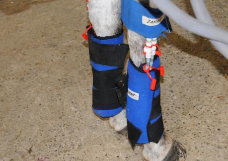Horse Tendon Injury