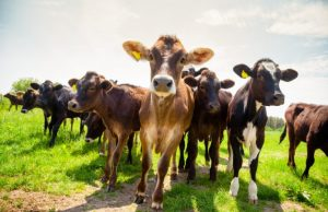 birth certificates for cattle