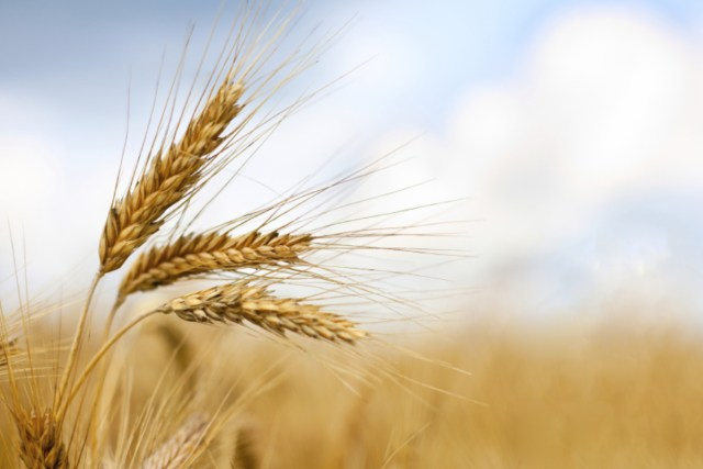 Mpika District praised for its first ever wheat crop