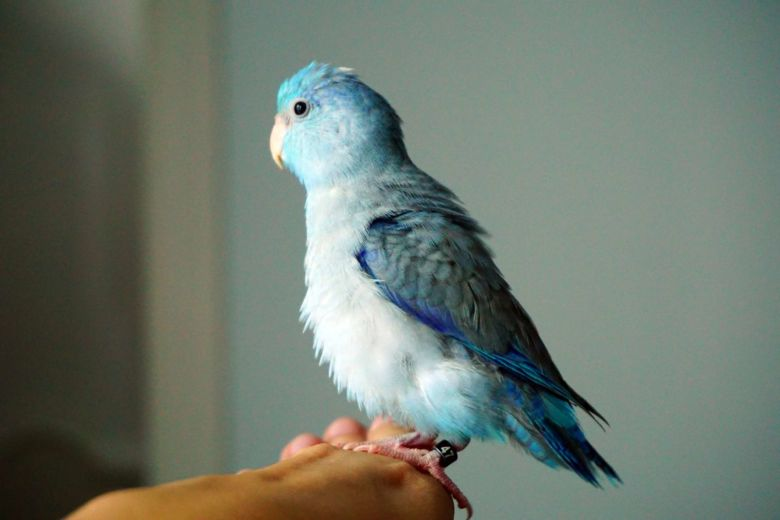 8 Top Blue Parrot Species To Keep As Pets