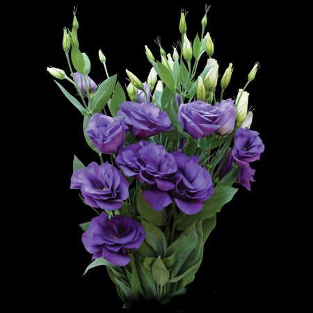 Purple Lisianthus