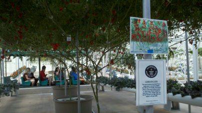 Behind the Seeds Tour tomato tree