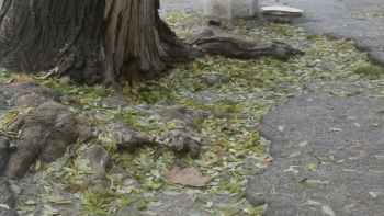 разбитый тротуар и дерево