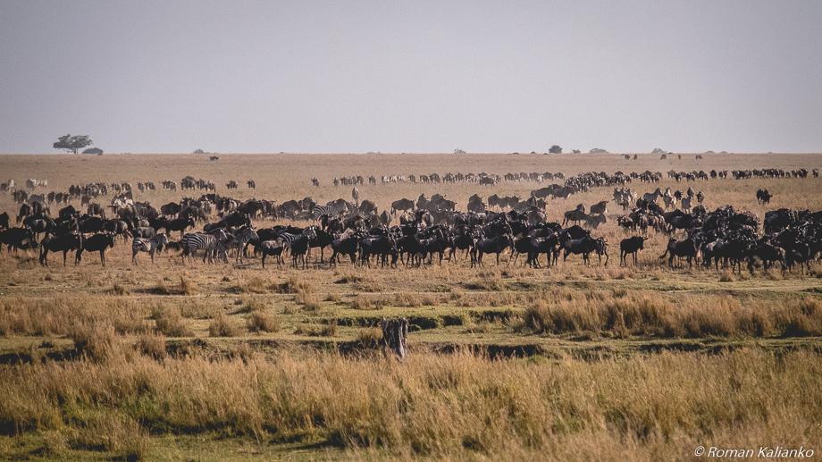 Veľká migrácia pakoňov a zebier cez Serengeti