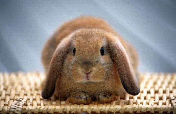 Запор у кролика симптомы и лечение