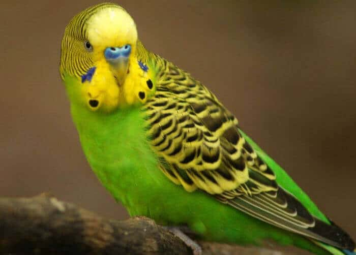 у попугая запор