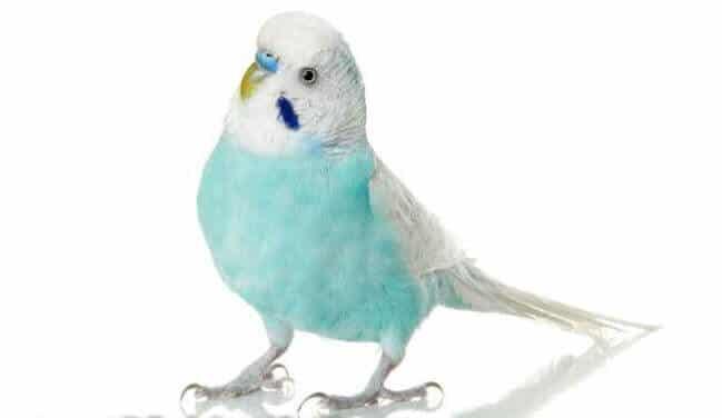 запор у попугая волнистого