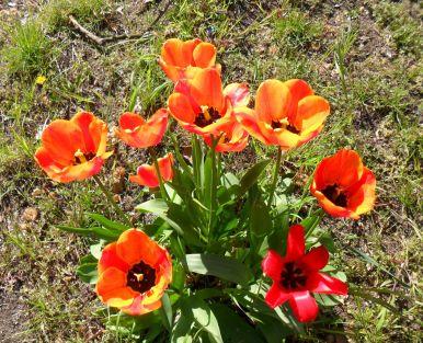 k-leuchtende Tulpen