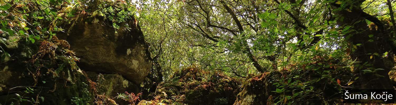 Šuma Kočje