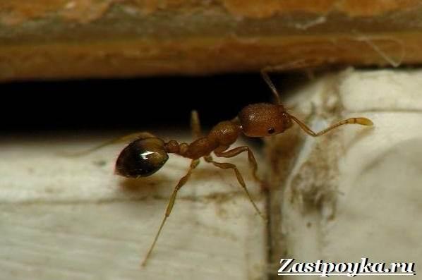 Как-избавиться-от-муравьев-дома-2