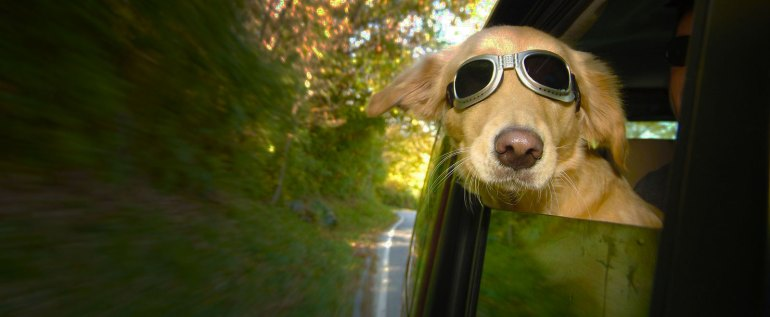 chien  avec des lunette de moto à la fenêtre d'une auto