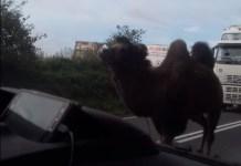 wielbłąd na drodze w Zatorze