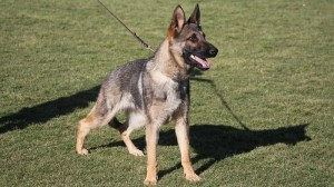 Sable German Shepherd Female 1 Year Old For Sale
