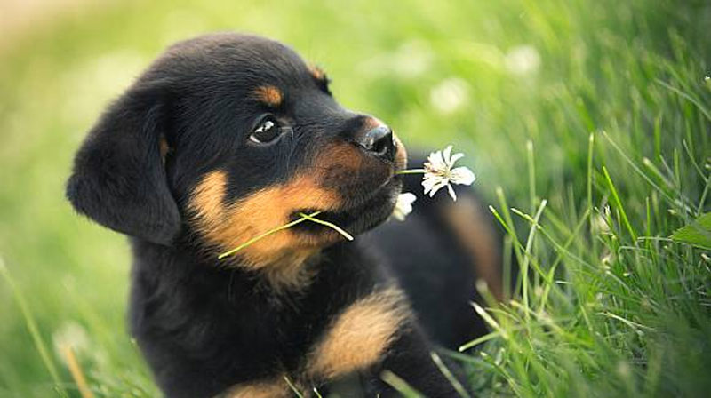 Rottweiler Breeder In Tucson Arizona Zauberberg