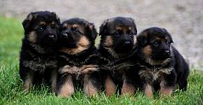 Germann shepherd puppies for sale