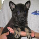 Trained German Shepherd Puppy for sale - Raudi Vom Zauberberg