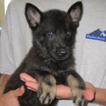 Trained German Shepherd Puppy for sale - Raudi Vom Zauberberg