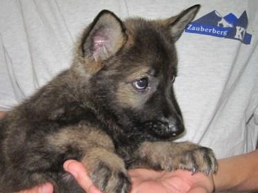 German Shepherd puppies for sale in Tucson