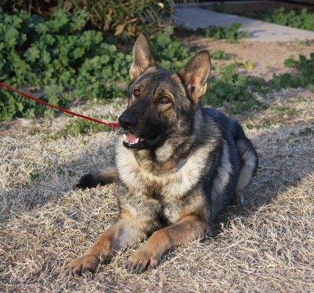 Obedience trained german Shepherd male for sale NY
