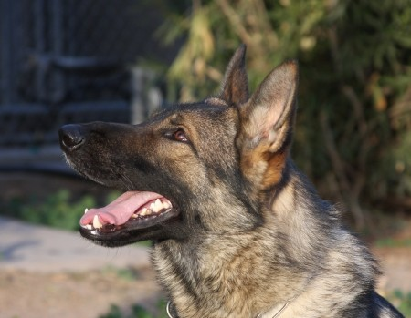 Best Guarantees buying a German Shepherd