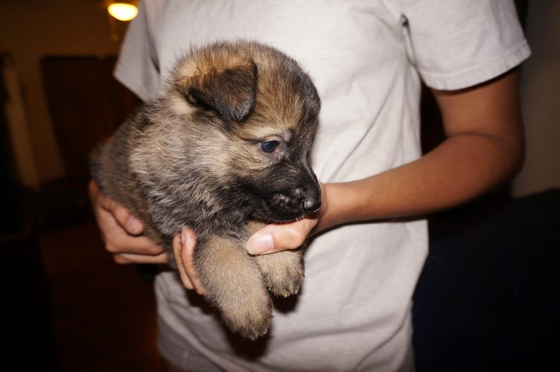 German Shepherd Puppy Sirio image at five weeks old