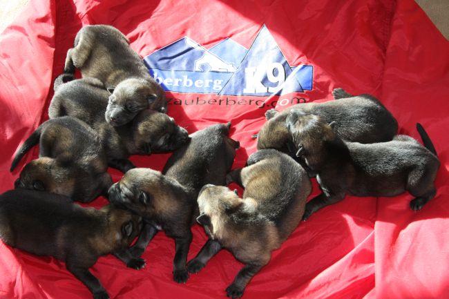 German Shepherd Puppies available in Scottsdale