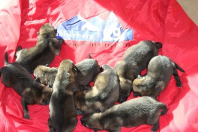 buying German Shepherd Puppies in Phoenix