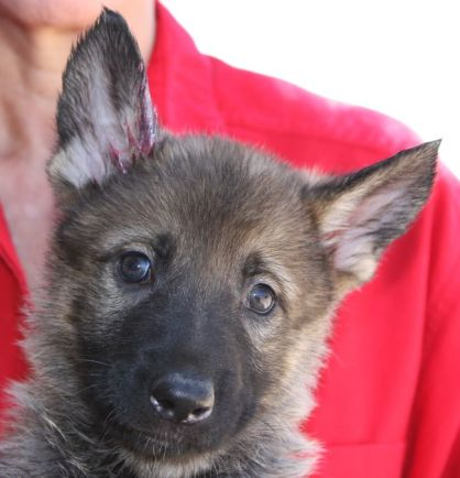 Germna Shepherd breeder Tucson Arizona