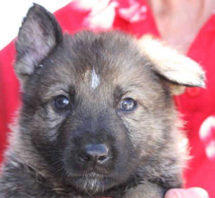 German Shepherd puppies from top breeder