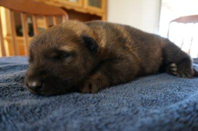 well bred German Shepherd pupppies