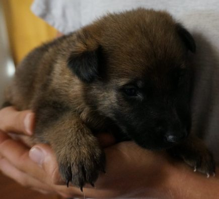 German Shepherd Breeder puppy image