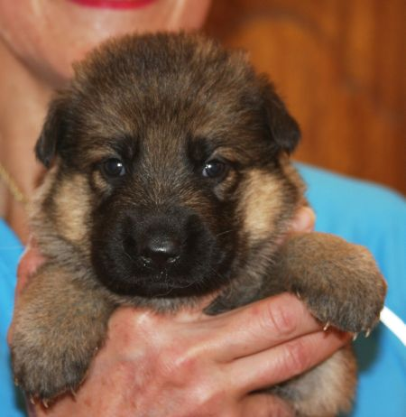 Female puppy sable2