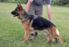 Heidi vom Schmetterholz German shepherd breeding female
