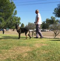 Sigi trained German Shepherd for sale in Tucson