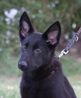 Ziska GSD puppy Tucson