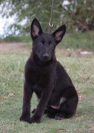Ziska German shepherd puppy in Phoenix