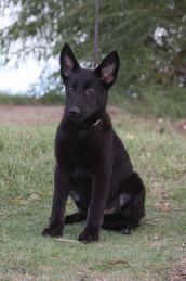 Ziska black German Shepherd puppy for sale Arizona