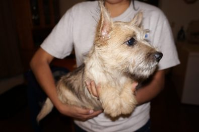 Cairn Terrier Male in Tucson AZ (1)
