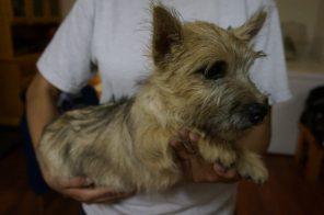 Cairn Terrier Male in Tucson AZ (5)