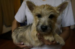 Cairn Terrier Male in Tucson AZ (6)