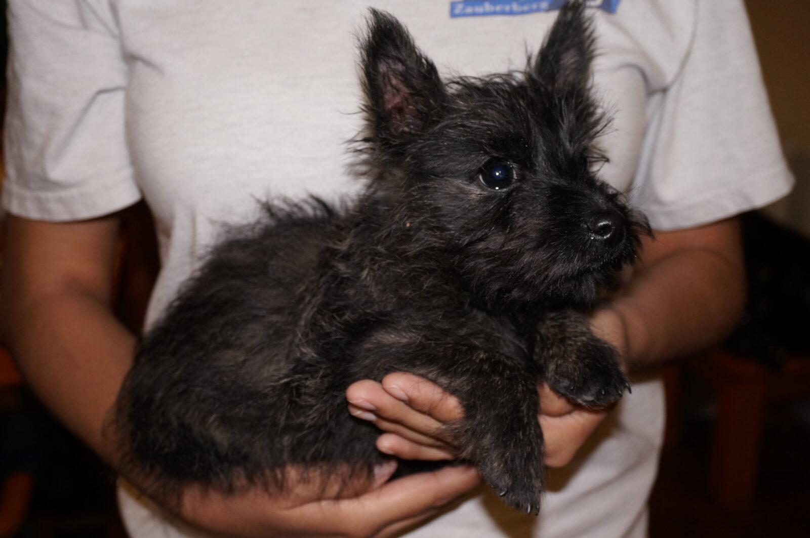 Cairn Terrier in Tucson (2) - ZAUBERBERG! | Cairn Terrier Puppies Phoenix Az